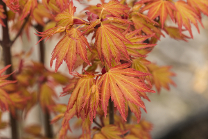 Acer palmatum Orange Dream, Foto: Odo Tschetsch