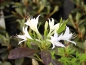 Preview: Rhododendron atlanticum