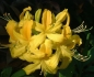 Mobile Preview: Rhododendron luteum pontica