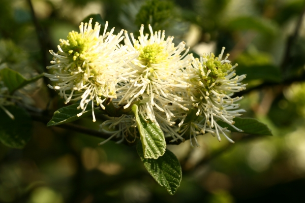 Fothergilla major, Photo: Odo Tschetsch