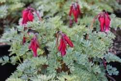 Dicentra ′Red Fountain′