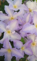 Clematis viticella 'Blekitny Aniol' / 'Blue Angel'